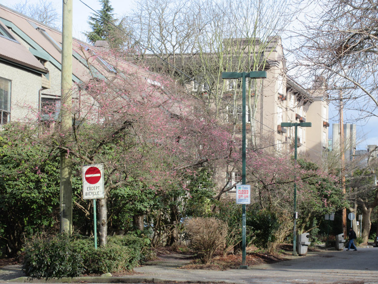 Whitcomb cherry trees on Nicola and Pendrell
