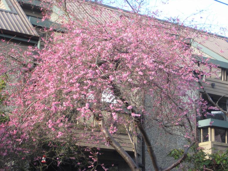 Vancouver Whitcomb cherry trees at Nicola park