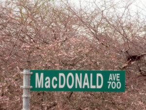 Autumnalis Rosea cherry trees with MacDonald street sign.