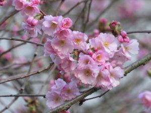 Accolade cherry blossoms