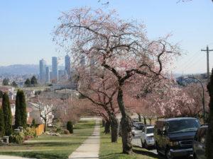accolade cherry trees with Burnaby skyline
