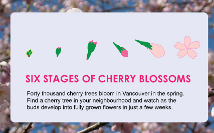 Six stages of cherry blossom development from buds to flowers (Infographics)